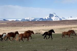 1716619-les-chevaux-sauvages-islandais-300x199