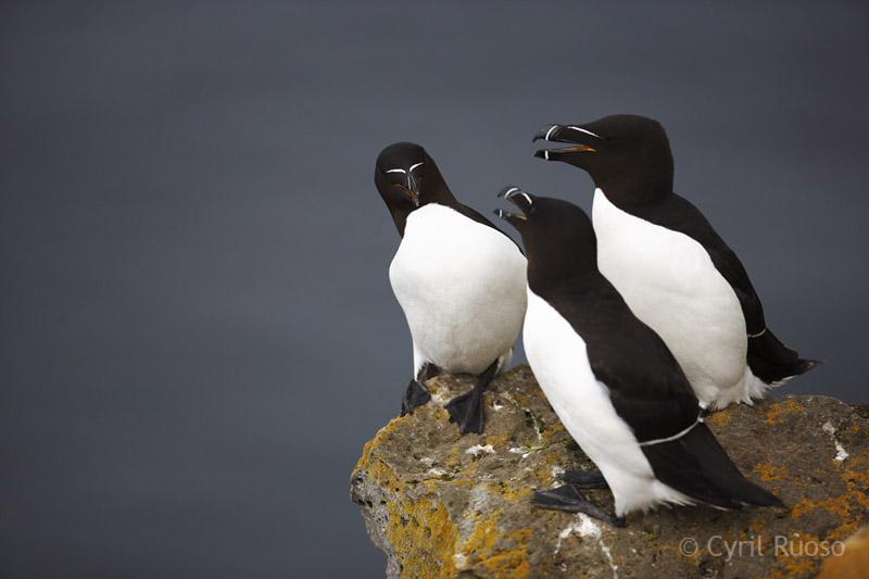 petits-pinguins1